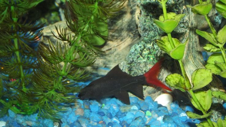 17 best ideas about tropical freshwater fish on pinterest for Semi aggressive fish