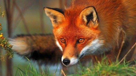 Kızıl Tilki  #wallpaper #tilki #kızıl #fox #red
