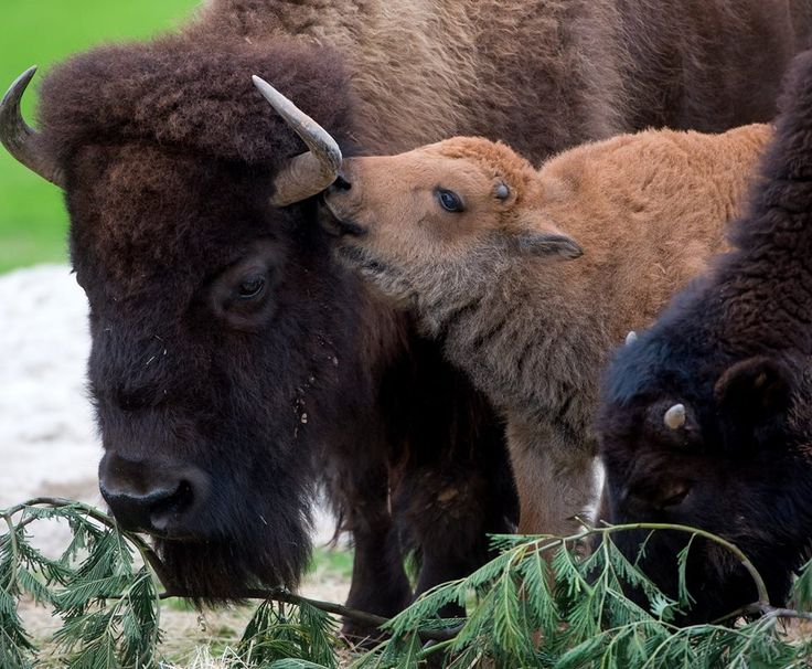 Lakota our baby bison finally making her first public debut at Werribee Open Range Zoo!
