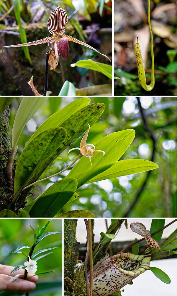 Some of Kinabalu Park's many plant species, , Malaysia #UNESCO