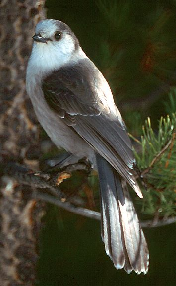 The Gray Jay (Perisoreus canadensis), also Grey Jay, Canada Jay or Whiskey Jack,[2] is a member of the crow and jay family (Corvidae) found in the boreal forests across North America north to the tree-line and in subalpine forests of the Rocky Mountains south to New Mexico and Arizona