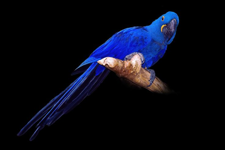 Wallpapers Birds Parrots Blue Black Background Hyacinth Macaw