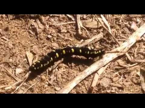 Nature Video, 自然 映像, しぜん どうが, приро́да изображе́ние, 자연 영상: [KakaoTV 벅스라이프]The caterpillar is crawling on the ground to live. larva, 幼蟲, larve, Larvae, sâu con, ตัวอ่อน,  लार्वा, caterpillar, 라바, カブトムシ, 붉은점모시나비 애벌레, Parnassius bremeri, 紅珠絹蝶, アカボシウスバシロチョウ