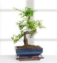 Bonsai (Zelkova) Bodur Ağaç - Çiçek Sepeti