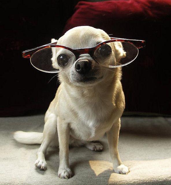 Nerd... Chihuahua in glasses.: Nerdy Chihuahua, Aye Chihuahua, Animal Baby, Pet, Chihuahua Puppies, Dogs In Glasses, Baby Animal, Baby Dogs, Smart Girls