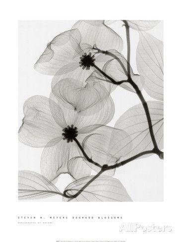 Fleurs de cornouiller Affiche par Steven N. Meyers sur AllPosters.fr