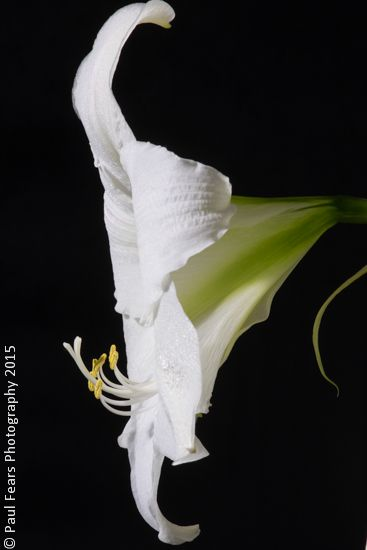 The stunning #Amayllis flower http://www.paulfearsphoto.co.uk/index.php?cat=blog&post=photographs-of-the-amaryllis-flower