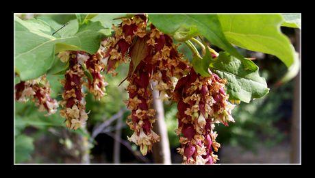 """Caprifoiul himalayan (Leycesteria formosa) este un arbust foios din familia Caprifoliaceae, înrudit cu """"Mâna Maicii Domnului"""" (Lonicera Japonica), nativ din zona munților Himalaya și China de Sud-Vest. Fructele sunt drupe sferice, de aproximativ 1 cm diametru..."""