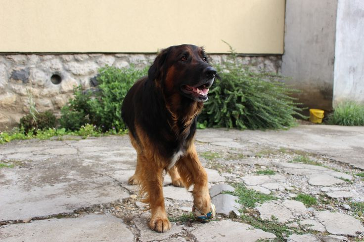 i love my dog :) #dog #hovawart