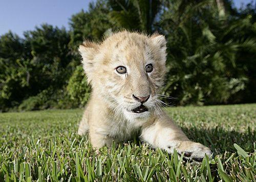 baby liger (tiger/lion cross): Wild Animal, Animal Kingdom, Lovabl Animal, Ligers Tigers Lion, Biggest Cat, Pictures, Ligers Cubs, Baby Animal, Baby Ligers