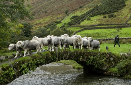 Bridges aren't just for people. Domestic Sheep (Ovis aries), Herdwick flock, being herded by shepherd over old packhorse bridge, Wasdale, La...