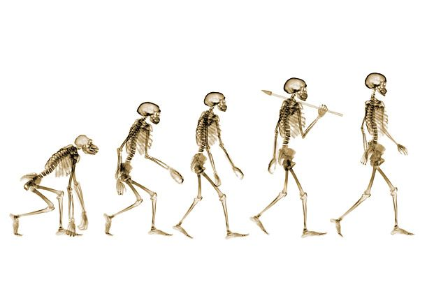 stages of evolution of man | model of darwins theory of the, Skeleton