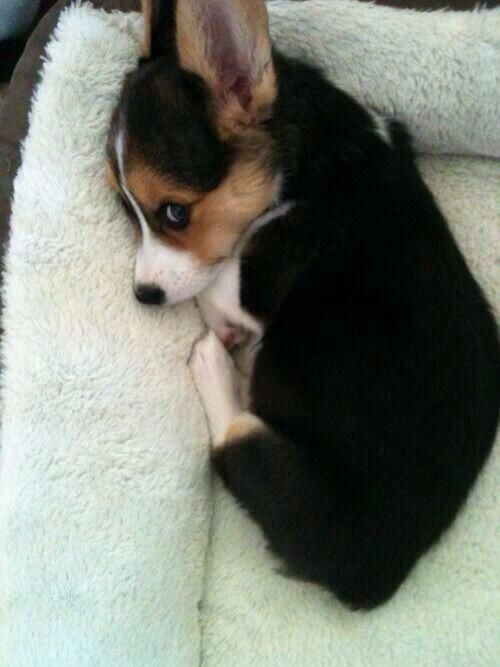 I need a corgi puppy