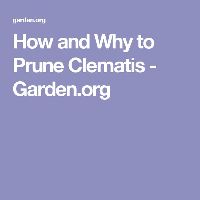 How and Why to Prune Clematis - Garden.org