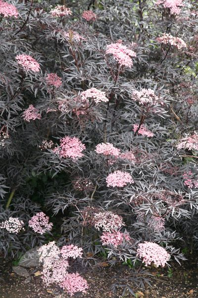 Sambucus nigra f. porphyrophylla 'Black Lace', aka Black Elder. It has almost black, dissected foliage and from May to June pale pink, musk-scented blooms emerge from beautiful creamy-pink buds. For best foliage effect cut back to ground level each year in early spring