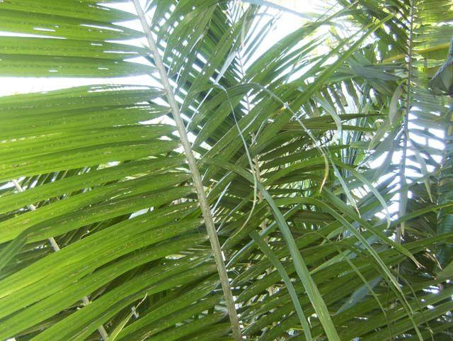 Hojas de palmeras