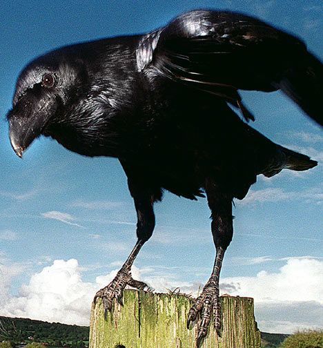 raven birds | new scientific research shows ravens are almost as smart as humans