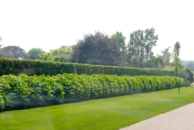 Privet hedge with hydrangeas