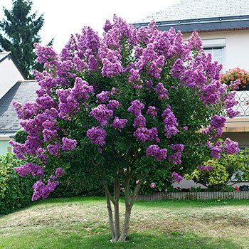 Rich Purple Blooms Last and Last - Catawba is a magnificent Crape Myrtle with many highly sought after features. This species has an extended flowering season and remains a stunning addition long into the fall. Catawba is a deciduous shrub that is extremely versatile so you will find endless ways to implement it into your...
