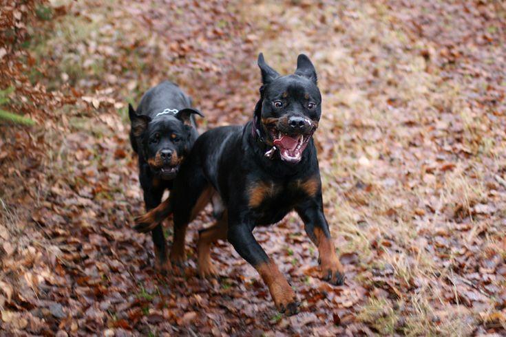 Rottweiler.Happy Rottweilers, Fci Group, Rottweilers Joy