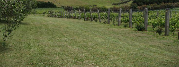 Wahiki island vineyard in north island of New Zealand.