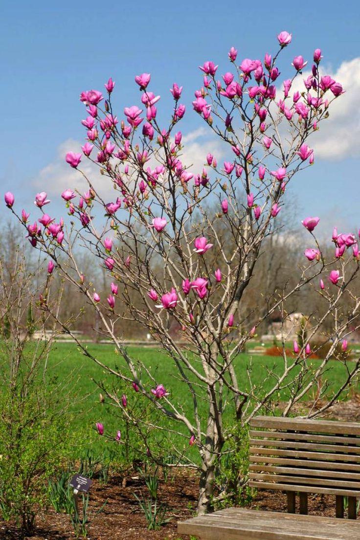 magnolia drzewo - Szukaj w Google