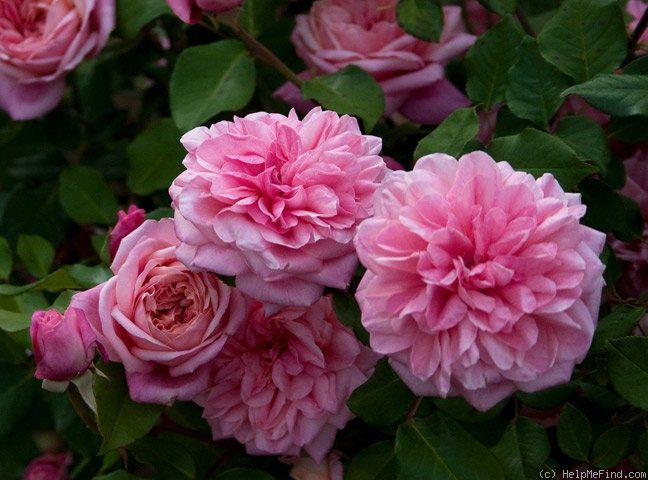 17 best images about roses anciennes jusqu 39 1920 on pinterest belle mauve and fragrance. Black Bedroom Furniture Sets. Home Design Ideas