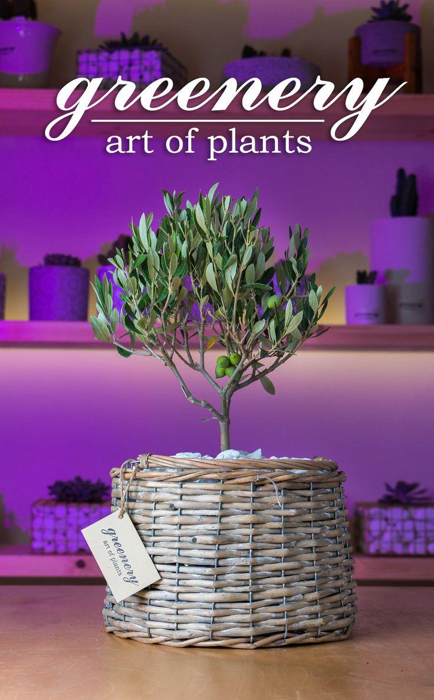 Olive tree in a basket!  #greenery #greeneryartofplants #olivetree #basket #chania #crete