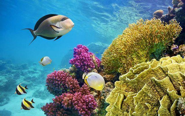 Quali sono gli effetti del riscaldamento globale sulle barriere coralline? Molti di noi apprezzano le barriere coralline per la loro bellezza. Altrettanto affascinante è la simbiosi interna fra i polipi, i coralli e le alghe che le popolano. A causa del riscaldamento global #barrierecoralline #riscaldamentoglobal