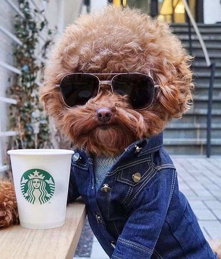 [dog wearing sunglasses, a denim jacket, & holding a Starbucks cup]