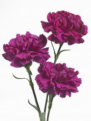 Snijbloemen nieuwe soorten anjers, rozen, varens, chrysanten als snijbloem met goede eigenschappen