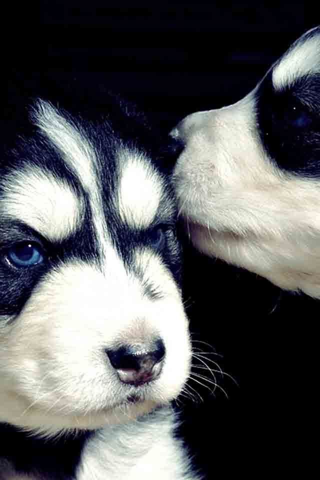 ~ BECAUSE OF BLUE EYES & MASKS, MY GUESS IS THESE ARE SIBERIAN HUSKIES ~