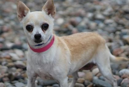 Petango.com – Meet Jade, a 9 years 1 month Chihuahua, Short Coat available for adoption in COLORADO SPRINGS, CO