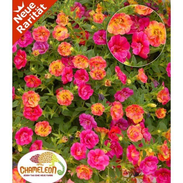 Zauberglöckchen 'Chameleon Double-Pink-Yellow', 3 Pflanzen - Baldur-Garten AT