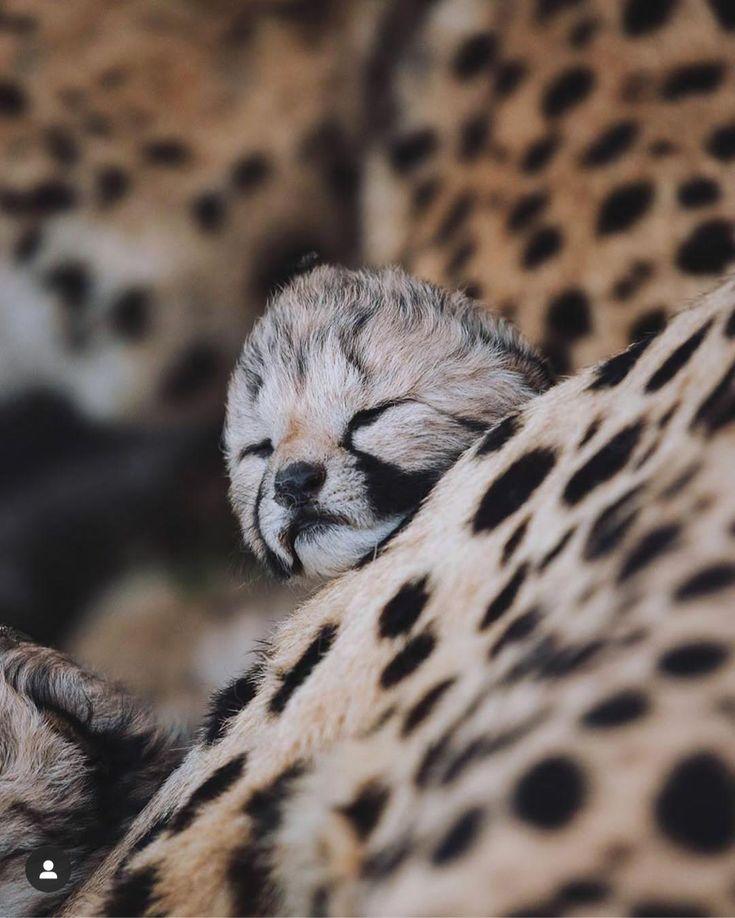 Baby Animal Credit Misha Wilcockson Animals Cute Dogs Breeds Baby Animals
