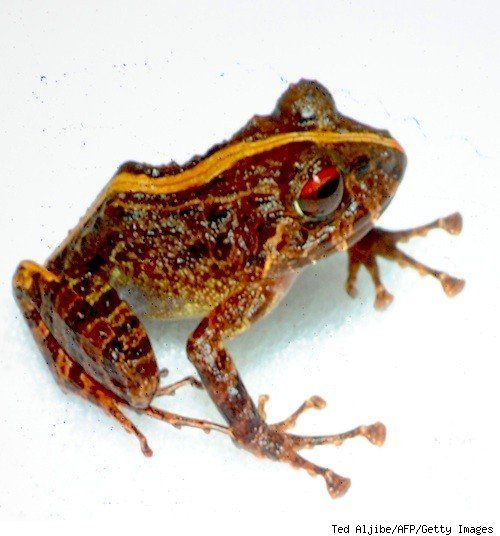 Two New Frog Species Found in the Philippines
