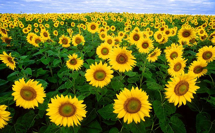 Fargo, ND: Gorgeous Flowers, North Dakota, Mornings Glories, Cut Boards, Sunflowers Fields, Art History, Northdakota, Fields Of Sunflowers, Sun Flowers