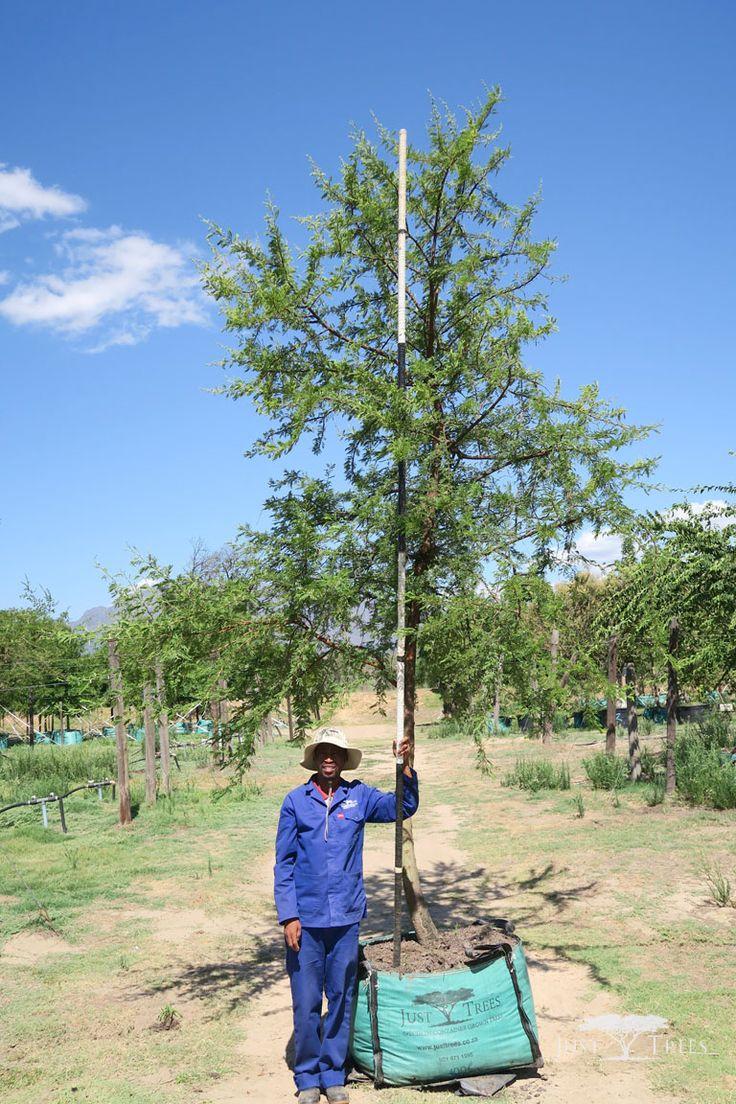 400L - Acacia karroo (Sweet Thorn)