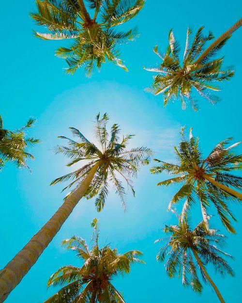 .: Palmtre, Blue Sky, Hello Sunshine, California, Palms Trees, Sea Urchins, Travel, Summertime, Blue Skiing
