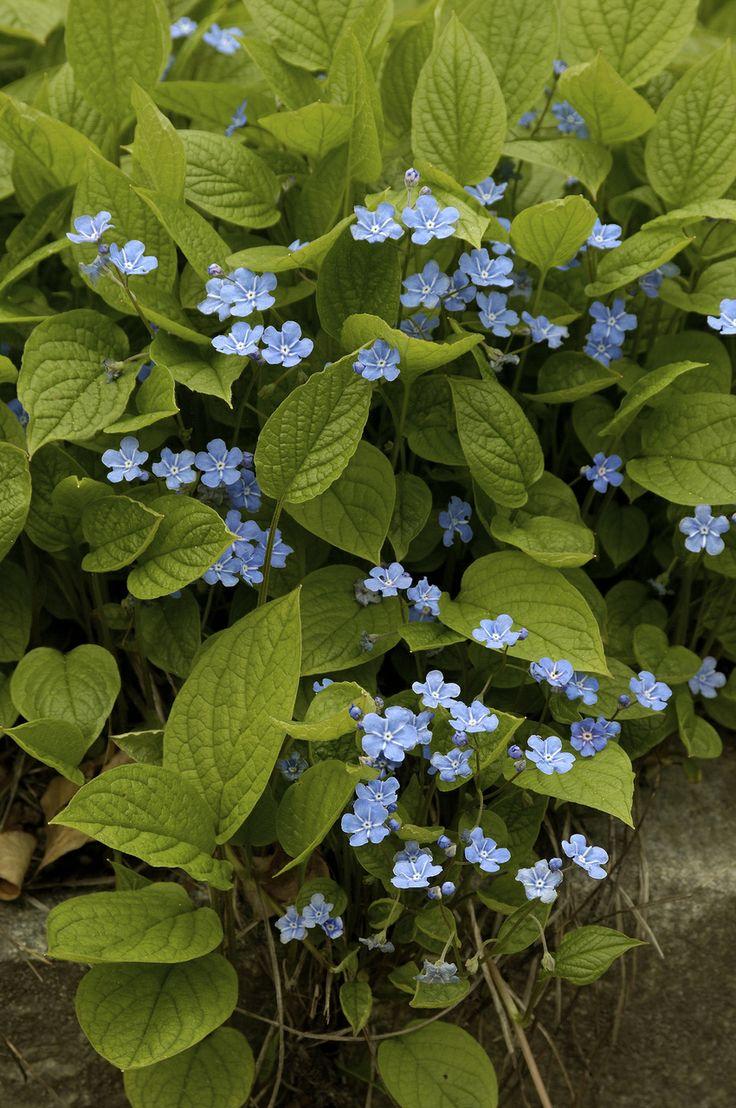 Omphalodes verna - Das schönste Blau an Frühlingstagen • Blumen & Pflanzen Blog • 99Roots.com