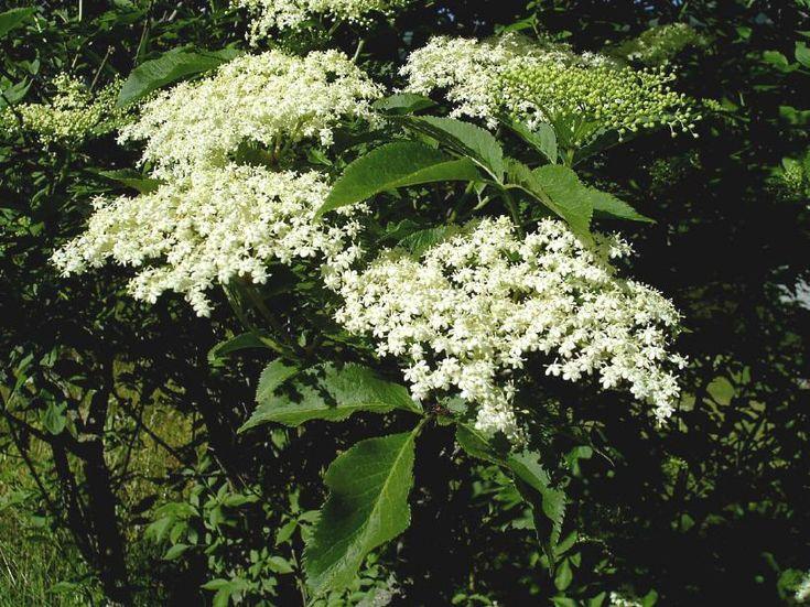 Bez černý (Sambucus nigra) Čeleď: Pižmovkovité (Adoxaceae)