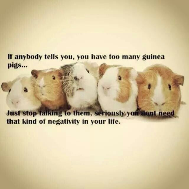 "XD If so9me one tells you you have ""too many guineapigs..."""