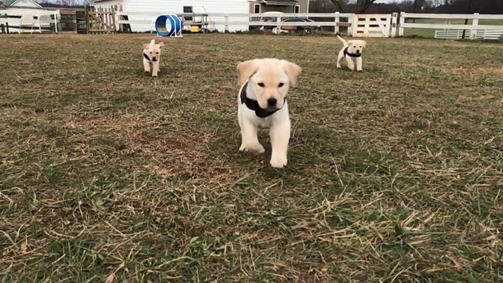 Service Puppies In Training At Warrior Canine Connection Bounmding