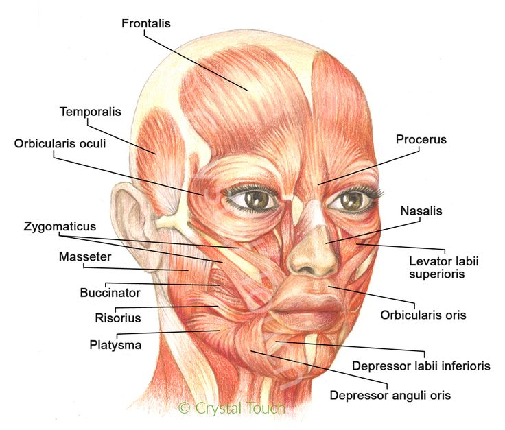 the 25+ best facial muscles ideas on pinterest | facial anatomy, Human Body