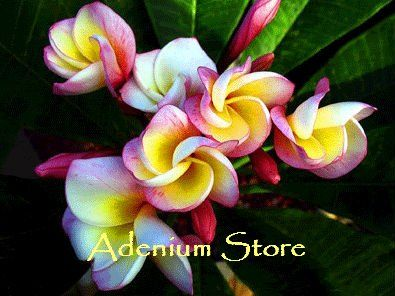 Plumeria Seeds 'Gold Holland' (6 Seeds)