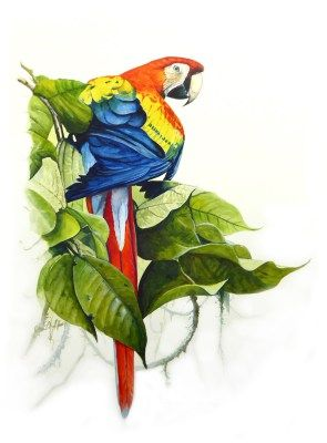 Scarlet macaw parrot watercolour art by Tim Niall-Harris