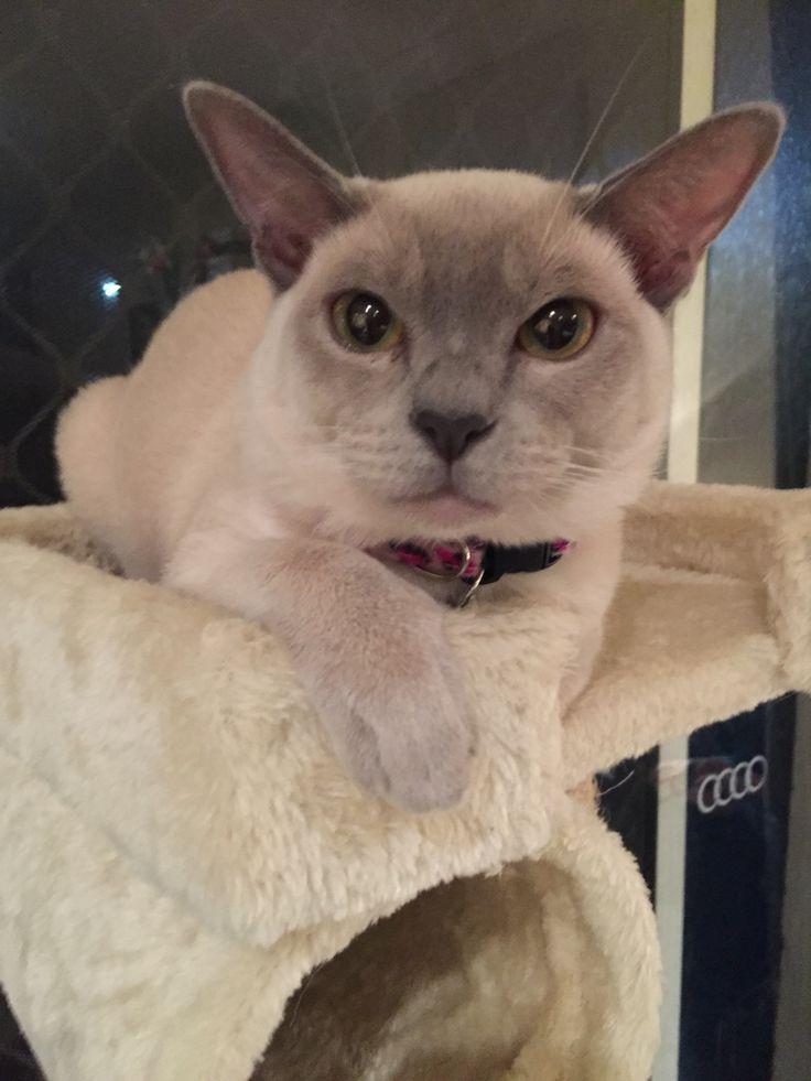 Lucinda, those cat eyes Lilac burmese