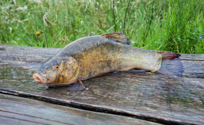 > L'Anses limite la consommation de poissons d'eau douce imbibés aux PCB.  Un poisson d'eau douce tous les deux mois pour les jeunes femmes et enfants et deux tous les mois pour le reste de la population, telles sont les recommandations de l'Anses au 19 janvier 2012.