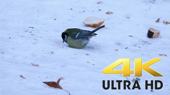 Great Tit Bird (Parus major) Eating in Winter