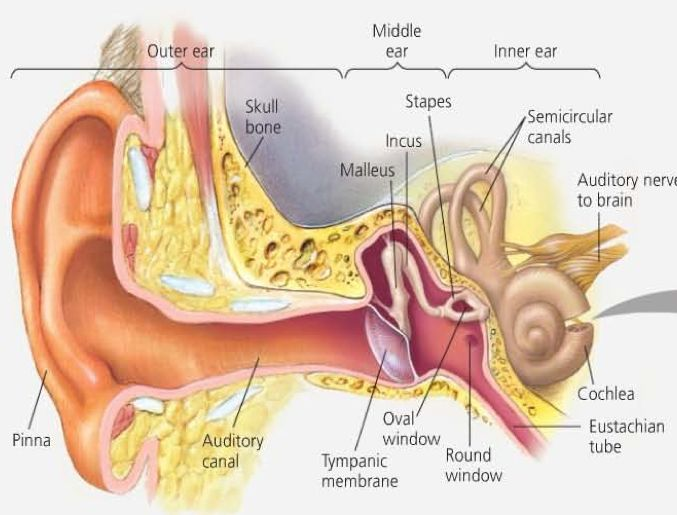 best 20+ external ear anatomy ideas on pinterest | ear anatomy, Cephalic Vein